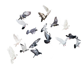 flock of flying doves isolated on white