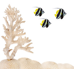 three fishes near light coral isolated on white