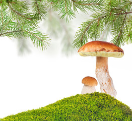 two penny buns under pine in green moss on white