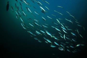 Sardines fish school in ocean