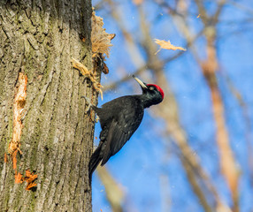 black woodpecker at work