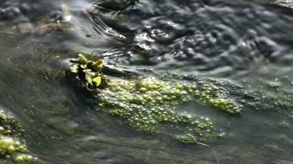 Bach mit Algen