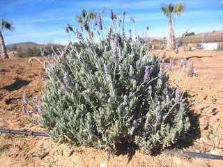 lavender with drip irrigation