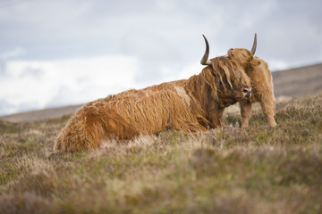 Highland calf nuzzling mother on scottish moor
