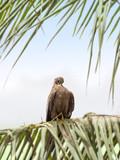Black kite (Mulvus Migrant) smoothing feathers at dawn, Senegal poster