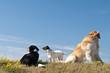 canvas print picture - drei Hunde auf  einer wiese