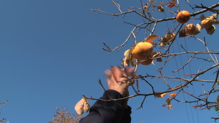 Man's hands picking persimmons (kaki) from the tree