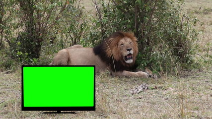 Lion  resting in savannah. TV with Green screen.