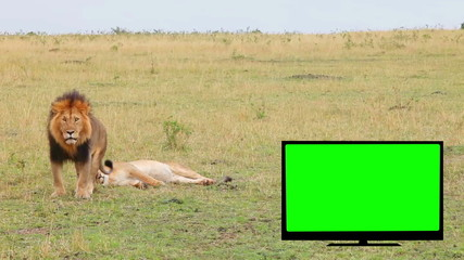 TV with green screen, lion, lioness in the savannah.