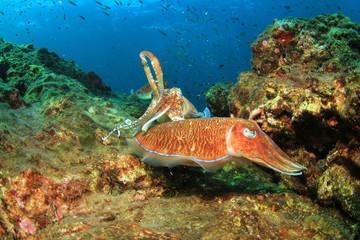 Pharaoh Cuttlefish mating