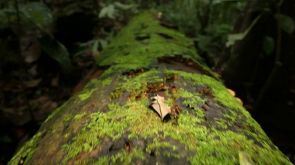 Rotting log in the rainforest, low angle tracking to bullet ant