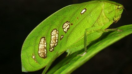 Leaf mimic bush cricket in rainforest, Ecuador