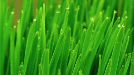 Fresh Green Grass with Raindrops in the Wind