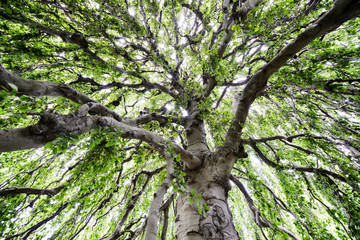 Expanse of a Large Tree