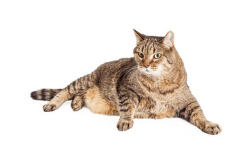 Overweight Tabby Cat Laying