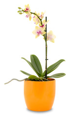 Yellow orchid flower in a pot