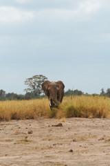 Eléphant dans l'herbe de face