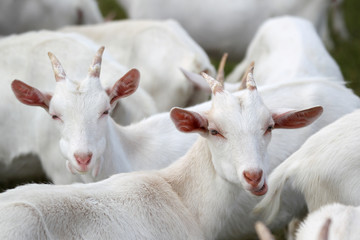 group of white goats