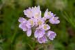 Aglio roseo (Allium roseum)