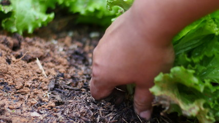 Farmer hand harvesting organic salad vegetable