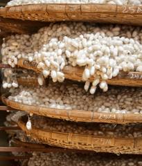 Silkworm cocoons