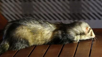 Pet. Cute Funny ferret eats