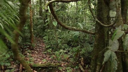 Walking through a tangle of lianas in rainforest, Ecuador