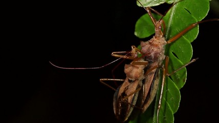 Assassin bugs mating in the rainforest understory, Ecuador