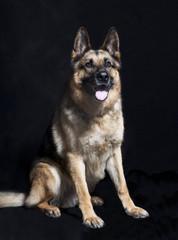 Schaeferhund portrait sitzend