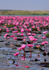 Sea of pink lotus,Nong Han, Udon Thani, Thailand (unseen in Thai