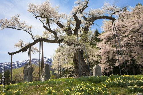 Poster Kersen 釜の越桜