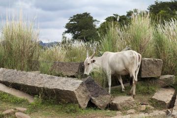 Heilige Kuh