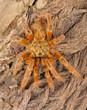 Usambara Orange Baboon Tarantula. - 78510234