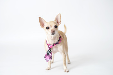 Chihuahua In a Tie