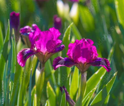 Staande foto Iris iris flowers