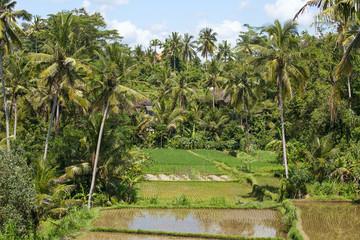 Green rice fields on Bali island, Indonesia