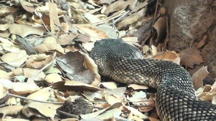 Rattlesnake in the leaves