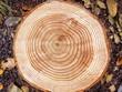 Leinwanddruck Bild - Jahresringe eines Baumes