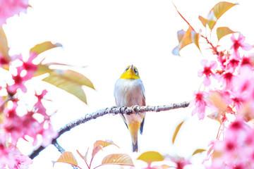 Closeness of White-eye Bird and Cherry Blossom or Sakura