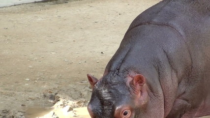 Baby hippo eating and walking