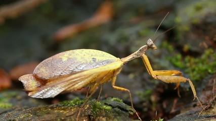 Leaf mimic mantis in rainforest, Ecuador