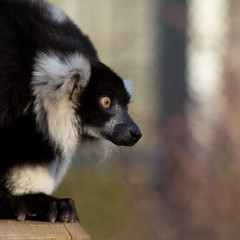 Lemur, black and white ruffed, square crop image