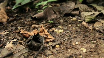 Tracking along a column of army ants on the rainforest flor