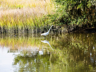 White Snowy Egret Wading in Marsh
