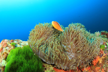 Anemone and Skunk Clownfish
