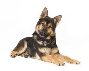 Schaeferhund freigestellt