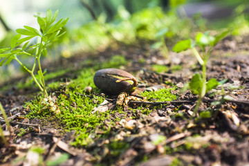 Acorn seedling in spring forest. Close up