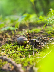 Acorn seedling in spring forest. Close up