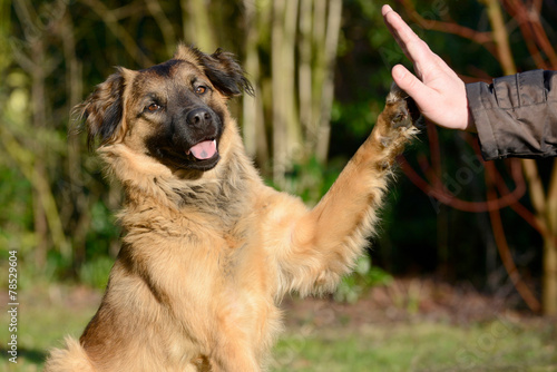 Leinwandbild Motiv Hund gibt Pfote