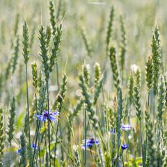 Cornflowers and Common Wheat